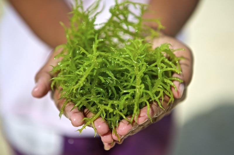 Mengenal Jenis Jenis Rumput Laut Yang Bisa Dikonsumsi